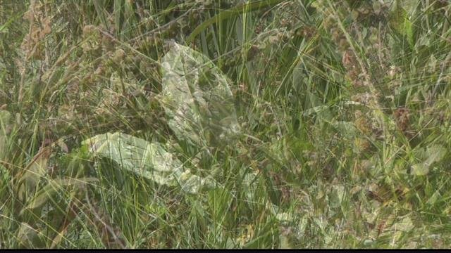 Volunteers are needed for a weed-pulling event at Finley Point. (MTN News photo)