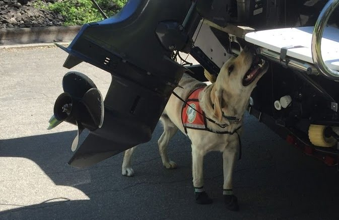 Tobias, trained in detecting invasive aquatic species, inspects a boat (Glacier National Park photo)
