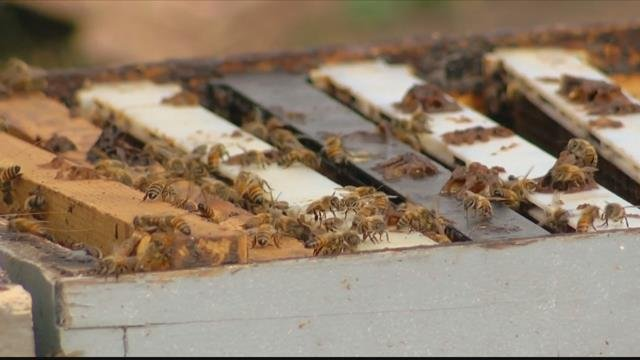 Investigators found nearly $1 million worth of bees in Fresno County they say they were stolen from more than half a dozen counties in California -- and in Montana. (CBS News photo)