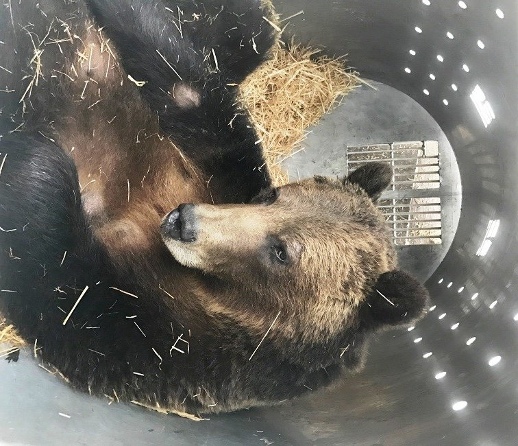 An adult female grizzly bear captured on May 16th south of Ferndale.  (photo credit: MT FWP)