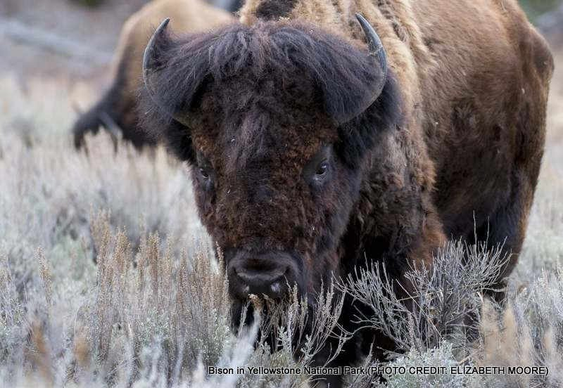 Elderly couple injured after being 'butted' by bison in Yellowstone National Park