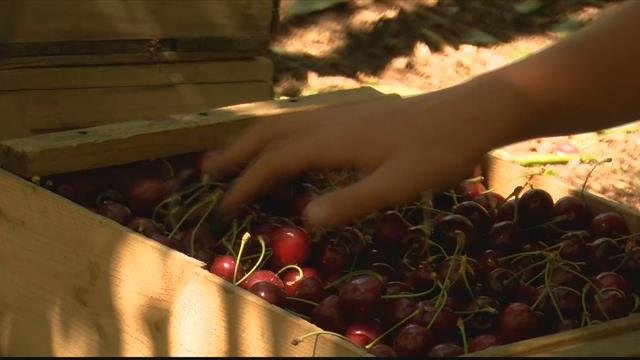 Bigfork Orchards is one of the many place you can find this year's crop of cherries. (MTN News photo)