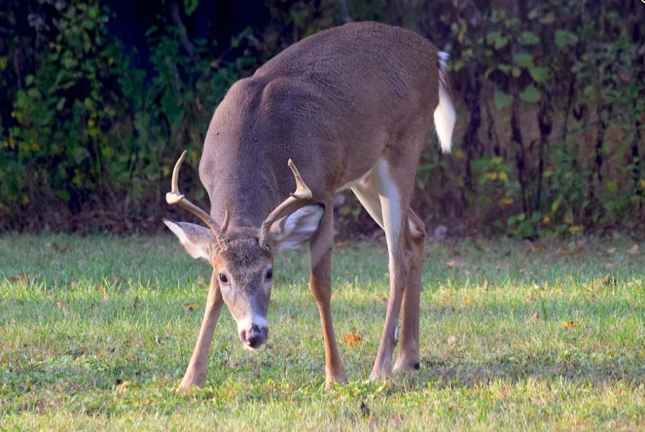 Chronic wasting disease was found in a white-tailed deer near Joliet.