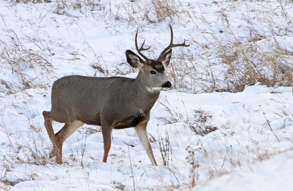 Mule deer. (courtesy photo)