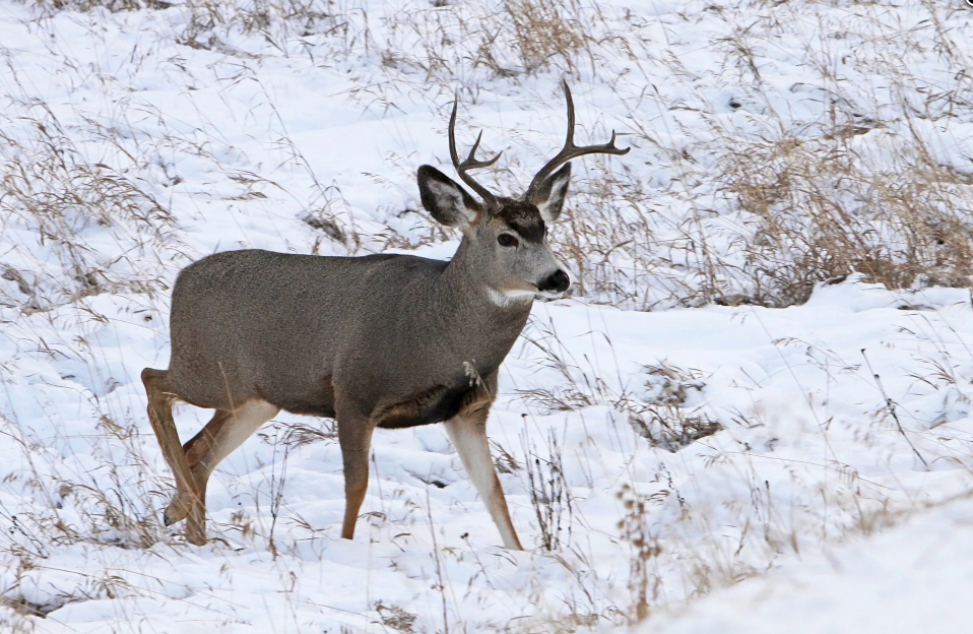 Mule deer. (courtesy photo)