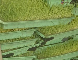 Almost 365 days a year, regardless of the weather outside, ranch owners Zack and Patty Wirth and their family are growing sprouted barley. (MTN News photo)