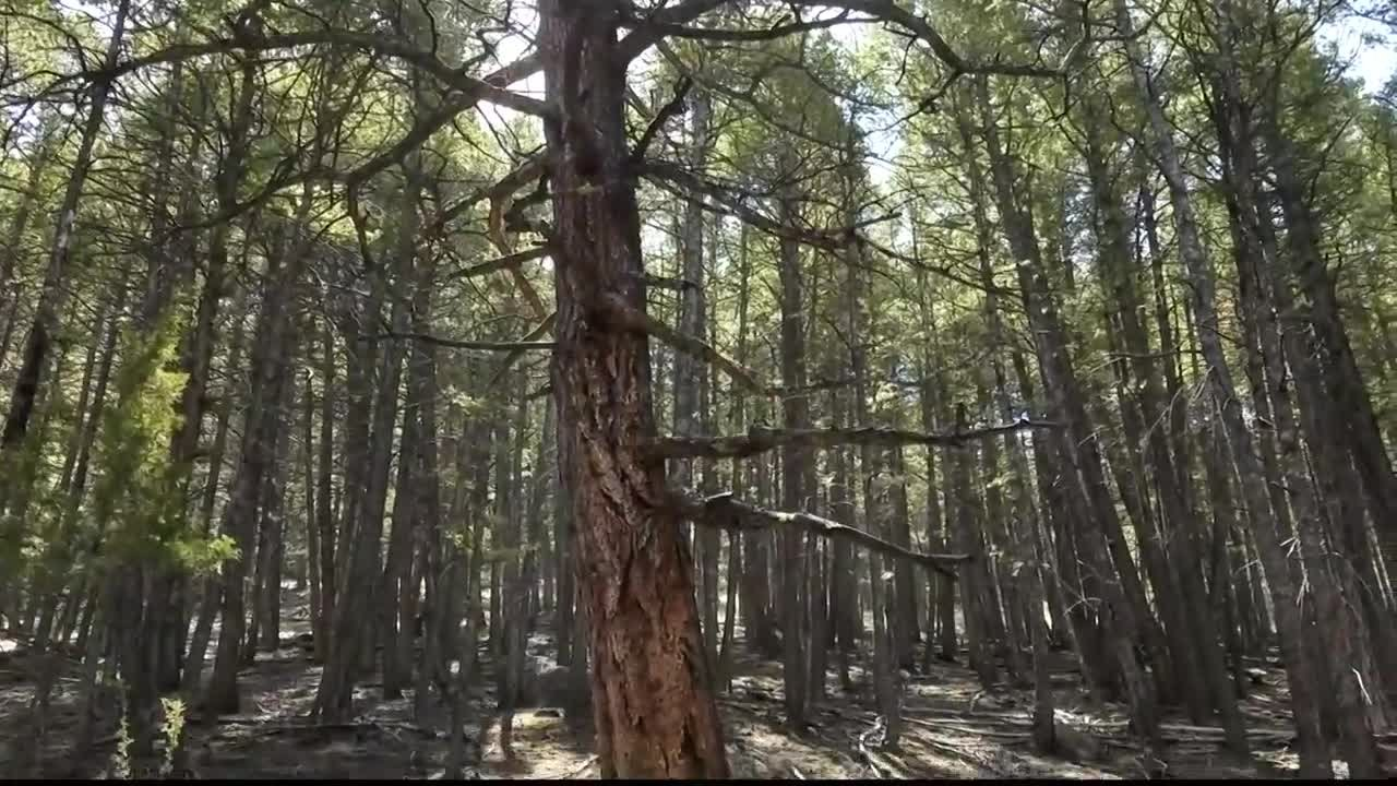 When a tree falls, depending on its size, it can bring hundreds or even thousands of pounds of force with it. (MTN News photo)