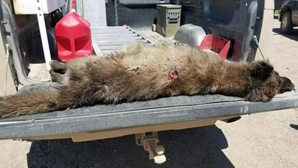 A man shot the animal when it appeared on his ranch near Denton, Montana. (MT FWP photo)