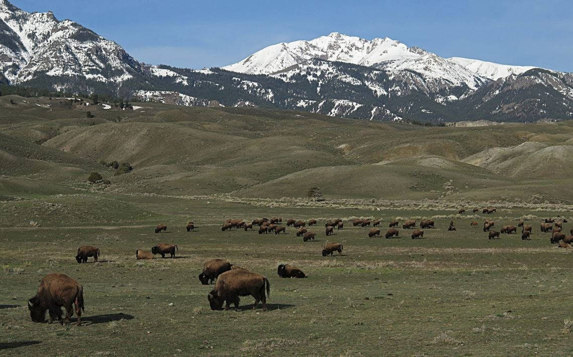 Bison near the North Entrance of Yellowstone (Jim Peaco/YNP photo)