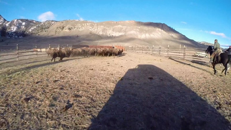 Yellowstone national park hopes to change bison management for Bison motors great falls mt