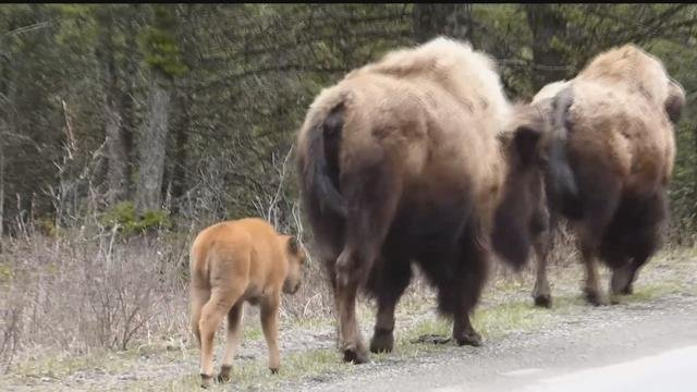 Calves cubs and more spring arrives in yellowstone park for Bison motors great falls