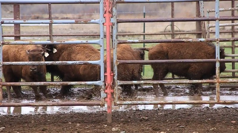 Blackfeet Test Canadian Bison Plan For May Release Krtv