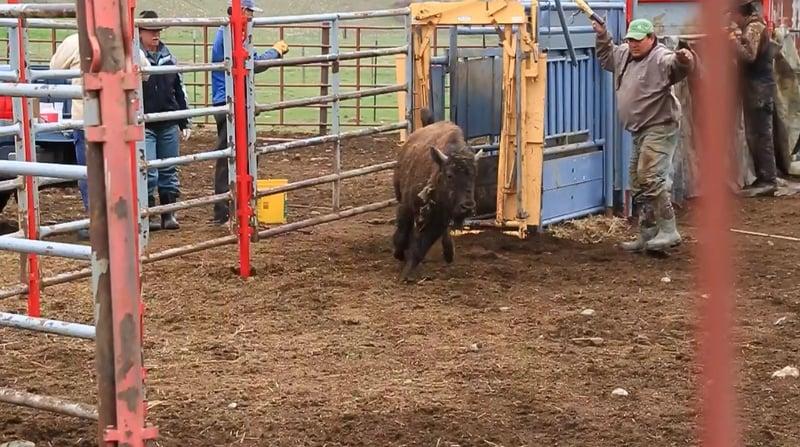 Blackfeet test canadian bison plan for may release krtv for Bison motors great falls mt