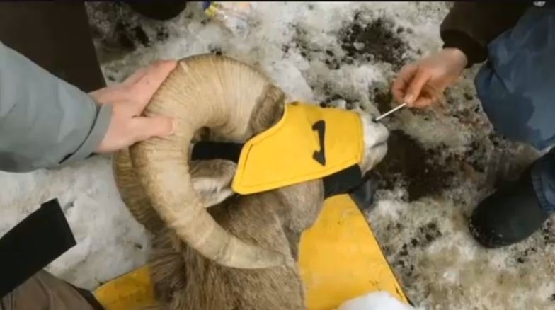 Montana wildlife managers battle bighorn sheep diseases for Fish wildlife and parks