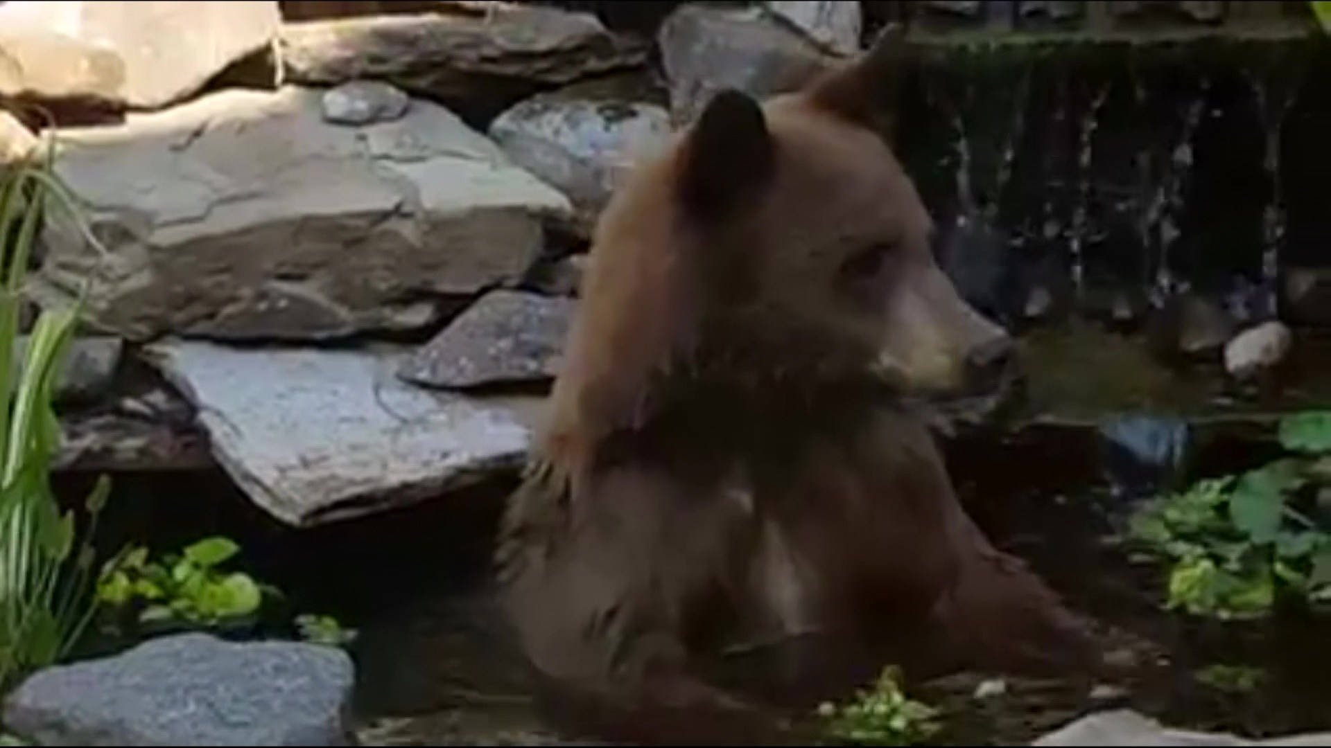 Montana sanders county dixon - Bear Takes A Dip In Montana Koi Pond