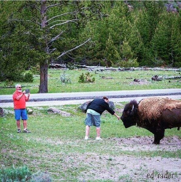 Yellowstone national park visitor takes risk pets bison for Bison motors great falls